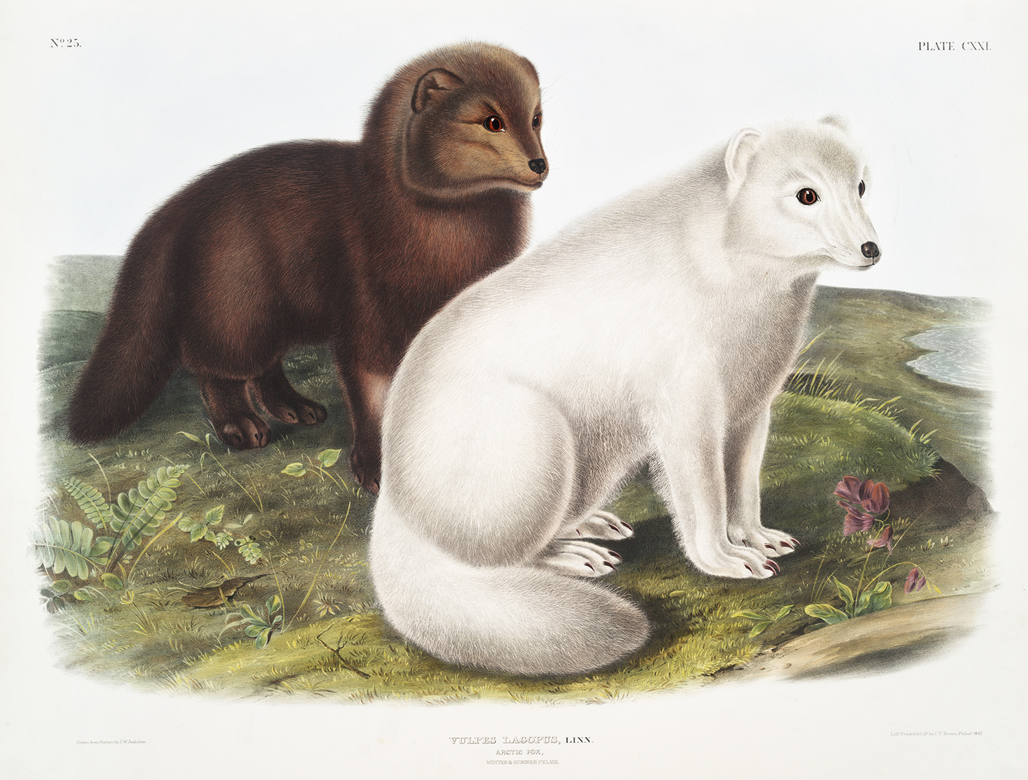 Image from Audubon's Viviparous Quadripeds depicting a brown arctic fox and a white arctic fox side by side.